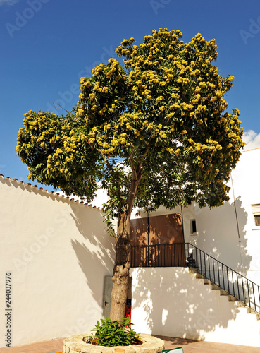 a chestnut tree (Castanea sativa) loaded with chestnuts inside the patio of an andalusian house