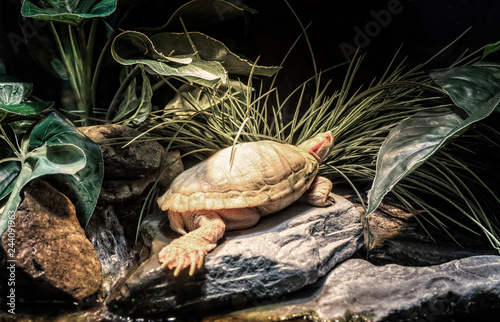 Fotografie, Obraz  Albino red eared slider turtle