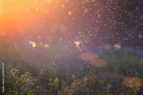 Foto op Plexiglas Weide, Moeras Summer Nature. Landscape of meadow at sunset. Background with bokeh light . Transparent columns of midges over tall grass in front of the sun. Blurred background.