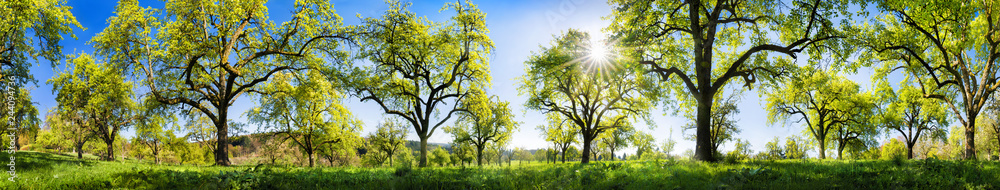 Obstbäume im Frühling, extra breites Panorama