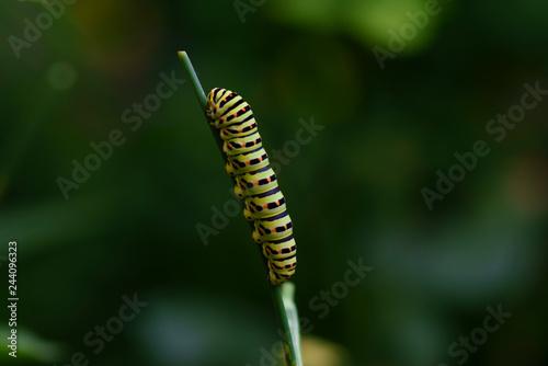 Fotografía  Caterpillar of a common yellow swallowtail