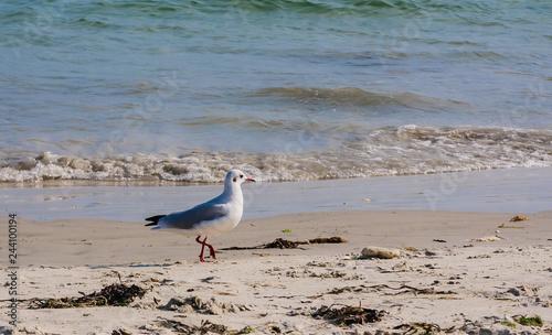 Seagull on the beach near Carnac, France , France Brittany