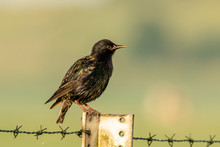 Male Common Starling Bird Stur...