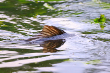 Common European Carp (Cyprinus...