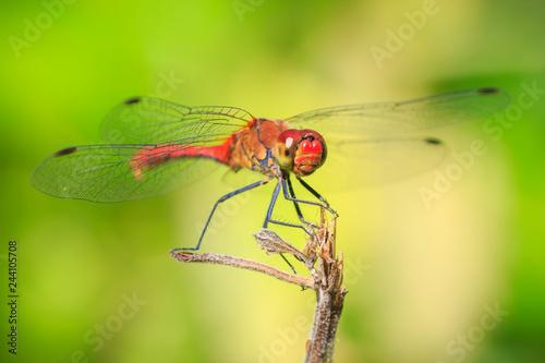 Fotografia, Obraz  Closeup of a male red colored Ruddy darter (Sympetrum sanguineum) resting in sun