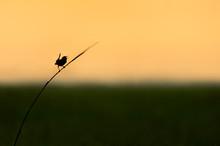 Marsh Wren Calling Silhouette