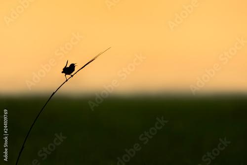 Canvas Print Marsh Wren Calling Silhouette
