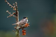 Blackpoll Warbler Singing