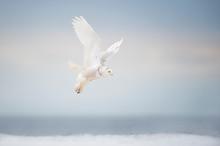 Snowy Owl Takeoff