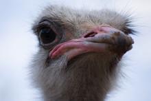 Emu Living In Captivity. Ostri...