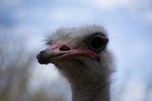Emu Living In Captivity. Ostrich Close Up. Australian Bird.