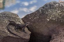An Eastern Water Dragon Lizard...