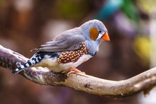 Zebra Finch Exotic Birds And Animals In Wildlife In Natural Setting.