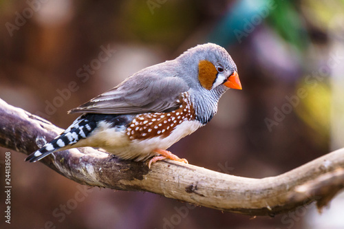 Zebra finch Exotic birds and animals in wildlife in natural setting Poster Mural XXL