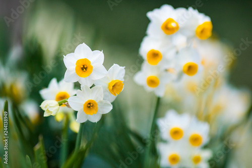 Foto op Canvas Narcis 水仙 クローズアップ