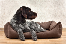 The Hunting Dog Lying In A Dog Bed