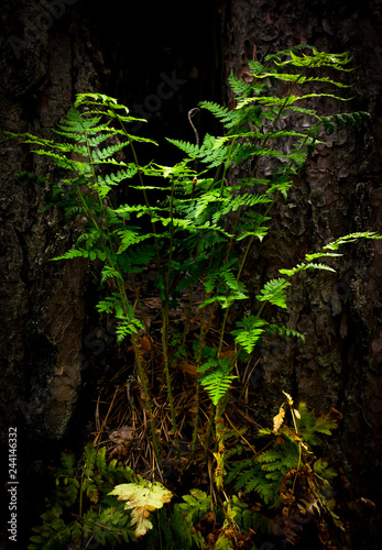 Fern Pteridium aquilinum still life grows in its natural habitat.