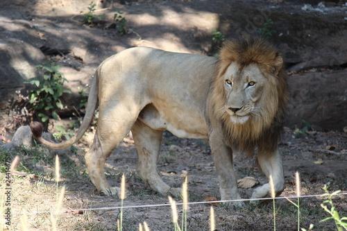 Zdjęcie XXL Lion, bądź zwierzęciem, które lubi jeść mięso, zobacz je w zoo KHON KAEN w prowincji KHON KAEN TAJLANDIA.