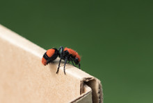 Cow Killer/Wingless Wasp
