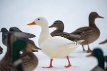 Wild Duck Mallard White Rare Mutant Winter