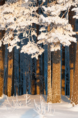 Fototapeta Zima Snow and frost covered pine trees. Focus on tree branches.