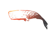 Sperm Whale, Ocean, Wildlife, Marine, Cachalot Concept. Hand Drawn Isolated Vector.