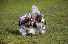 Two Yorkshire Terriers Play On...