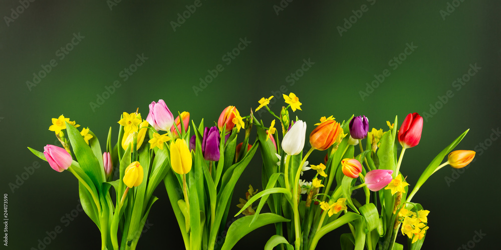 Fototapety, obrazy: Tulips and Daffodils on blurry dark green background. High resolution Image