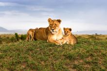 Löwe - Löwin Mit Zwei Babys ...