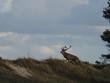 Rothirsche, Cervus elaphus, am Darßer Ort, Nationalpark Vorpommersche Boddenlandschaft, Mecklenburg Vorpommern, Deutschland