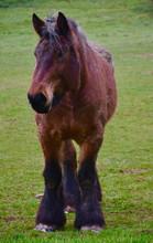Belgian Draught Horse In Winter