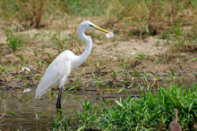 Image Of Great Egret(Ardea Alba) On The Natural Background.Large Egret Or Great White Heron, White Birds, Animal.