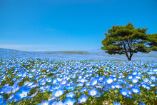 Mountain, Tree And Nemophila (...