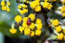 Ladybirds Mating