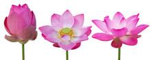 Pink Lotus Flower Blooming Set...