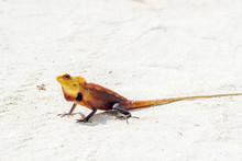 Little Colored Lizard On The S...