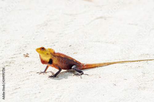 Photo  little colored lizard on the sand, wildlife