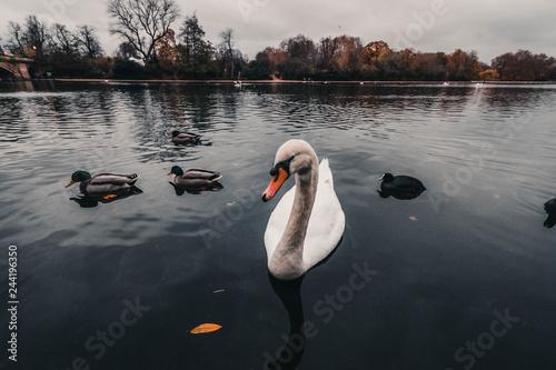 El lago de los Cisnes, Hyde Park. Londres Canvas Print