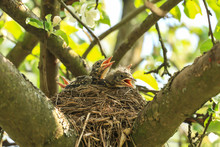 Baby Birds In A Nest On A Tree...