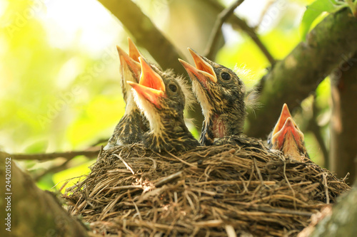 Baby birds in a nest on a tree branch close up in spring in sunlight Wallpaper Mural