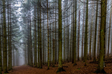 beautiful image tall pine trees and a path in the middle of the forest on a cold morning with haze on a winter day in the Belgian Ardennes