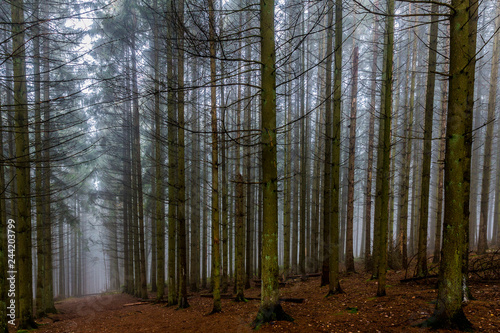 Spoed Foto op Canvas Grijze traf. beautiful image tall pine trees and a path in the middle of the forest on a cold morning with haze on a winter day in the Belgian Ardennes