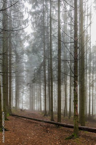 Cadres-photo bureau Foret brouillard beautiful image of tall pine trees in the forest on a cold morning with haze on a winter day in the Belgian Ardennes