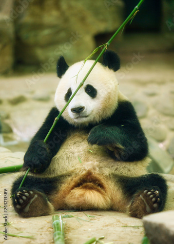 Fotografija  The giant panda sits and holds a bamboo sprig in its paws.