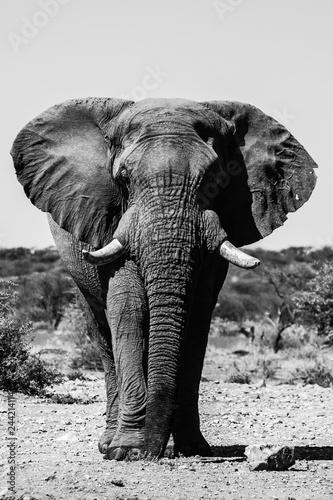 Fototapeta Elefant in Namibia Frontalaufnahme obraz na płótnie