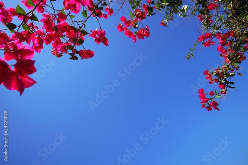 Leinwand Poster Fuchsia bouganville on blue sky in Santorini