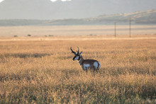 Pronghorn Antelope In The Tall Prairie Grass.  Mountains Rise In The Distance.