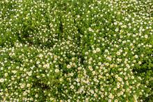 Flower Carpet. Sweet Little Wh...