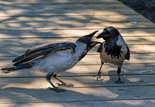 Adult Crow Feeding Its Hungry ...