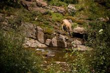 Deer Drinking From River At Cameron Falls, Waterton
